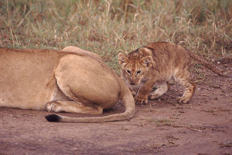 хвост льва