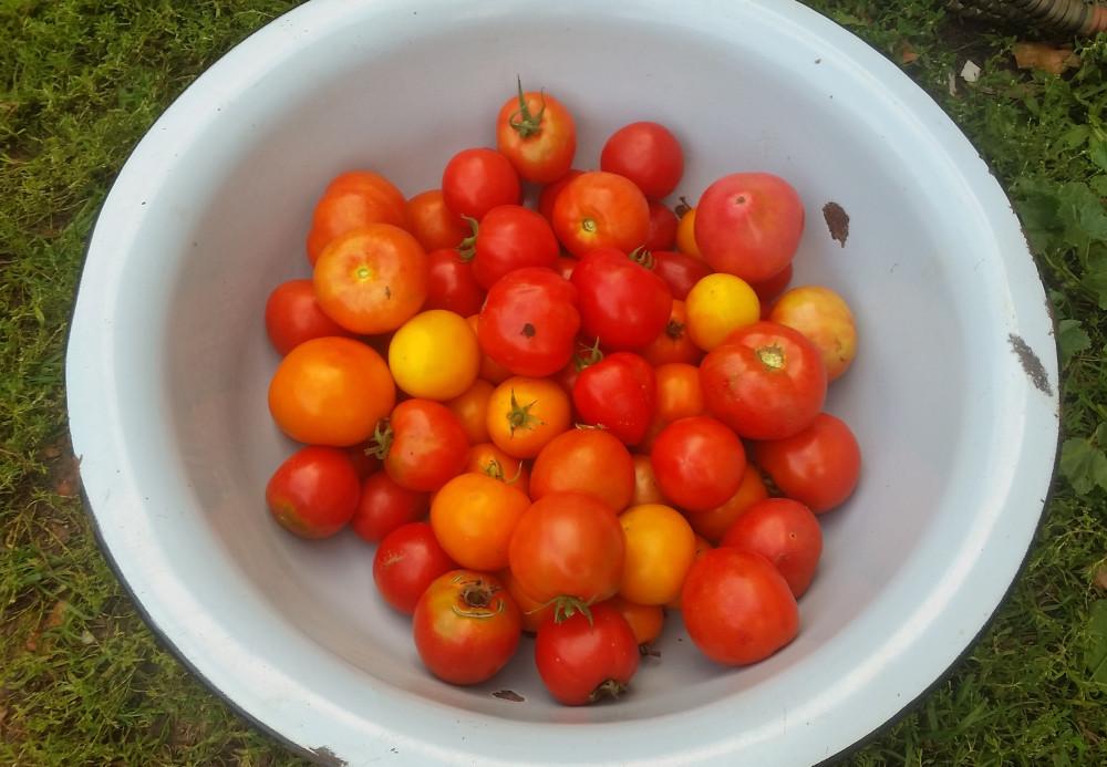 помидоры для закатки