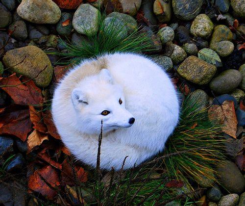 фото-животное-лиса-сферический-песец-280596