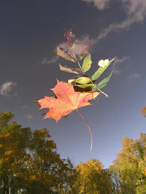 лист кленовый