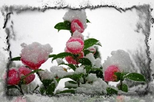 Rose-february-17R1