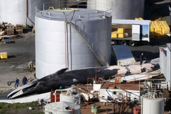 Fin-whale-landed-prior-to-butchering-in-port-in-Iceland-in-2010