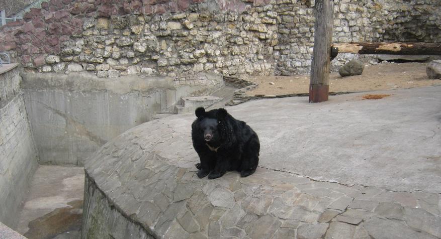 медведь черный