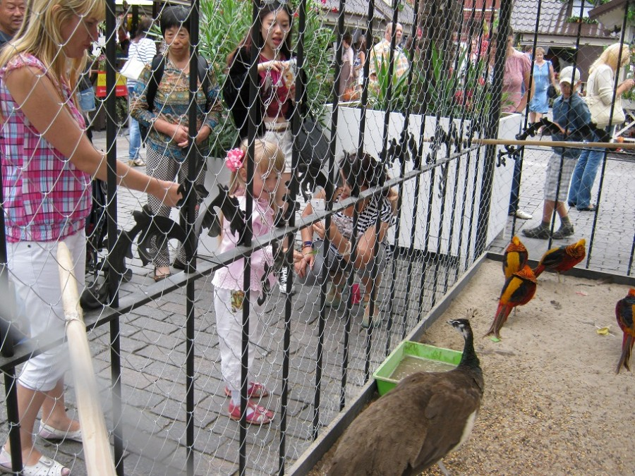 ребенок кормит павлина