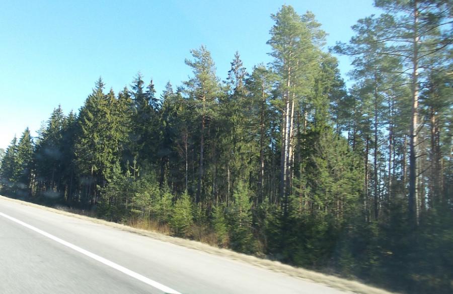 елки-сосны - лес густой