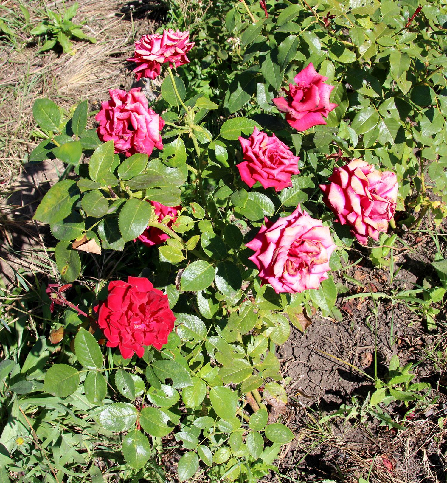 Фотография красных кустовых роз в солнечный летний день