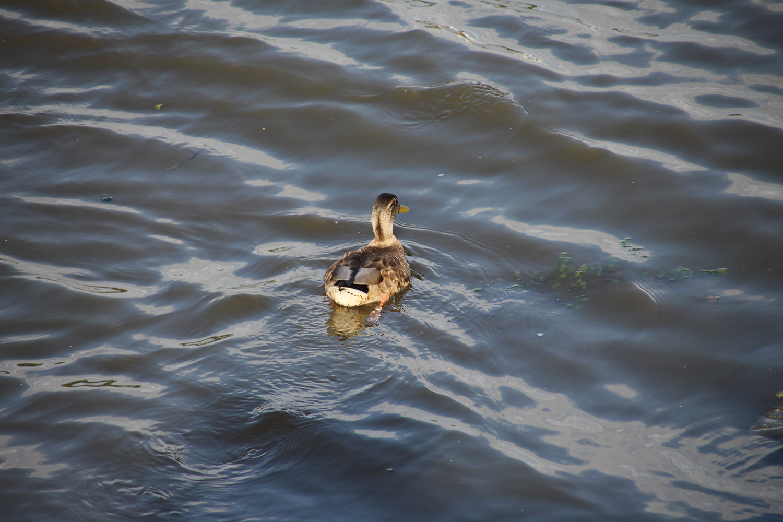 Утка на реке