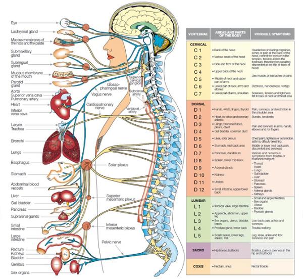Центральная нервная система (ЦНС) - главная и специфическая функция ЦНС - о