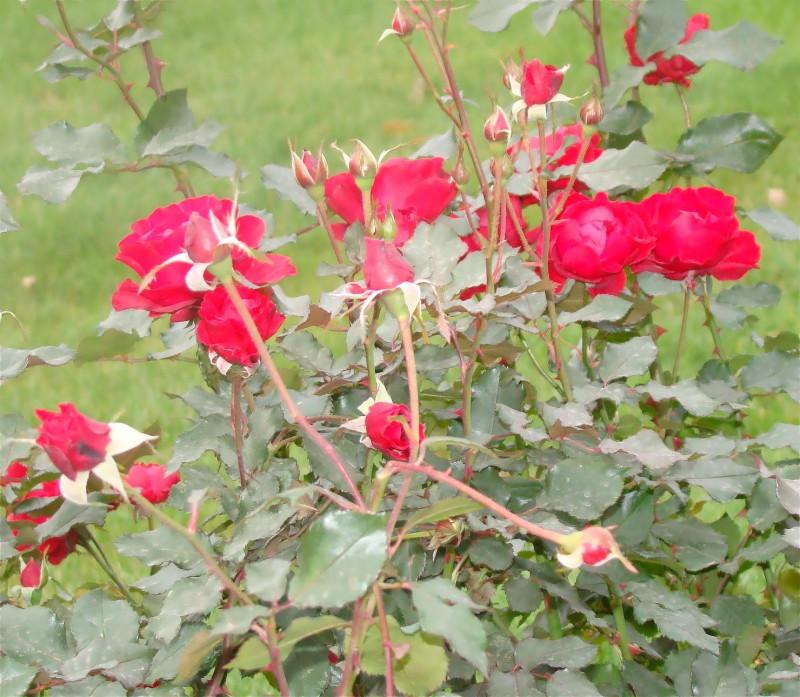 Розы у Исаакия_filtered