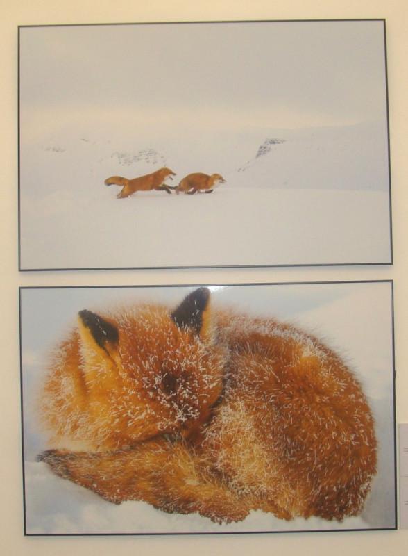 Зимние лисы
