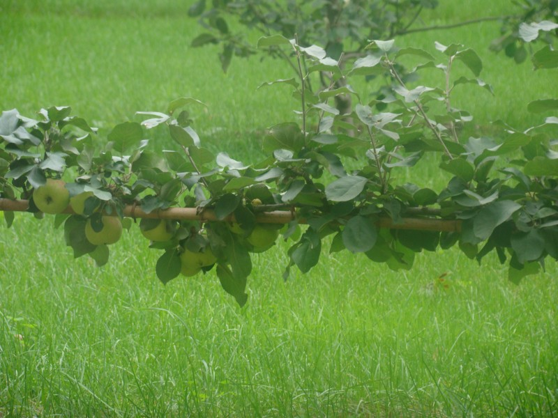 Горизонтальная яблоня Пакр Монрепо