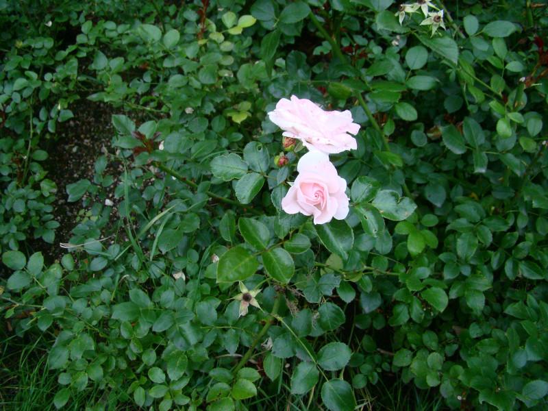 Розы парк Монрепо