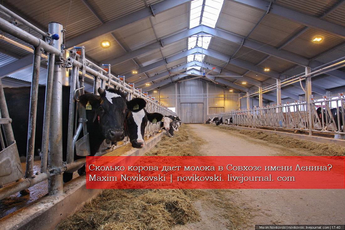 Сколько корова дает молока в Совхозе имени Ленина?