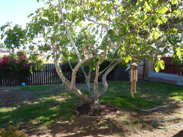 Фикус или Фиговое дерево