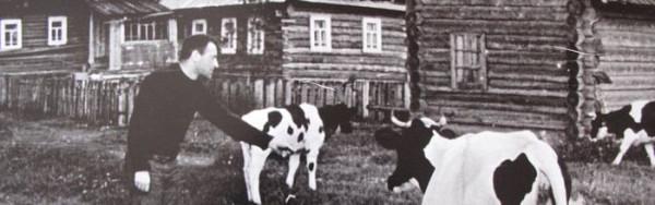 cow2Norenskaya2_cr