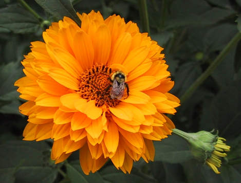 marigold and bee