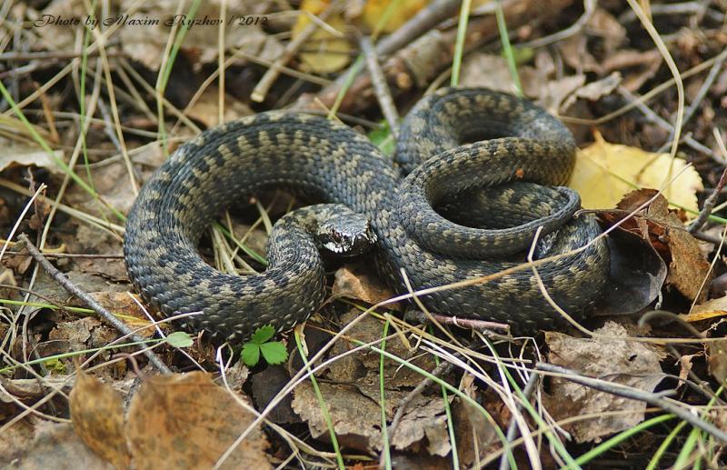 сожалению, всегда змеи свердловской области фото беру шумовку