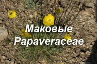 Маковые – Papaveraceae