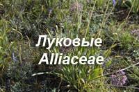 Лук стареющий Allium senescens