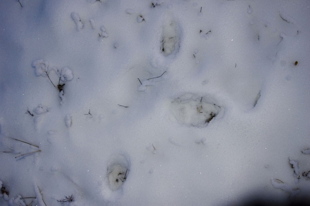 Волк-лиса