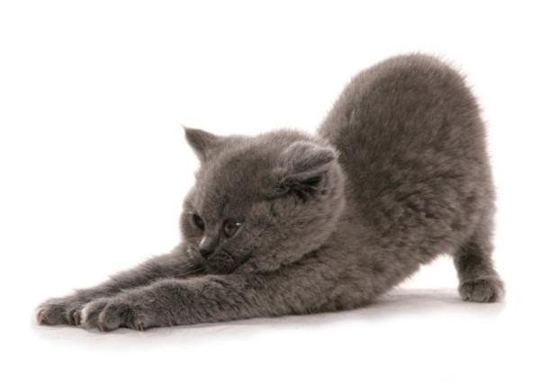найдена британская кошка