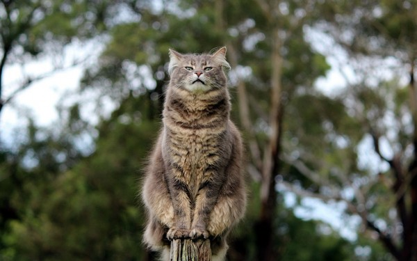 серый кот на заборе