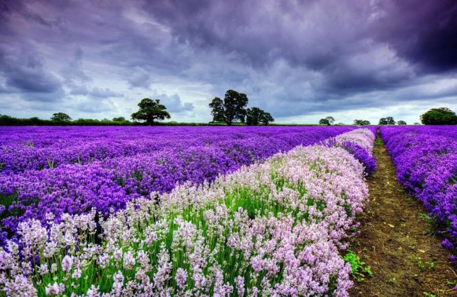 Lavender-fields1