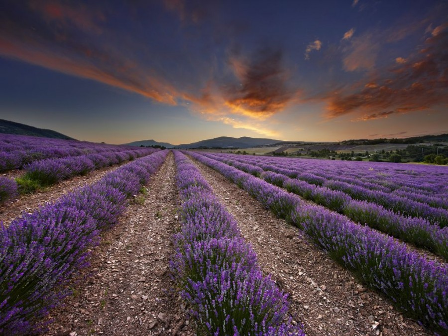 Lavender-fields3