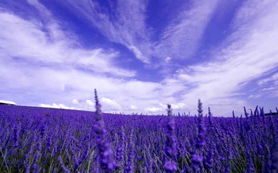 Lavender-fields4
