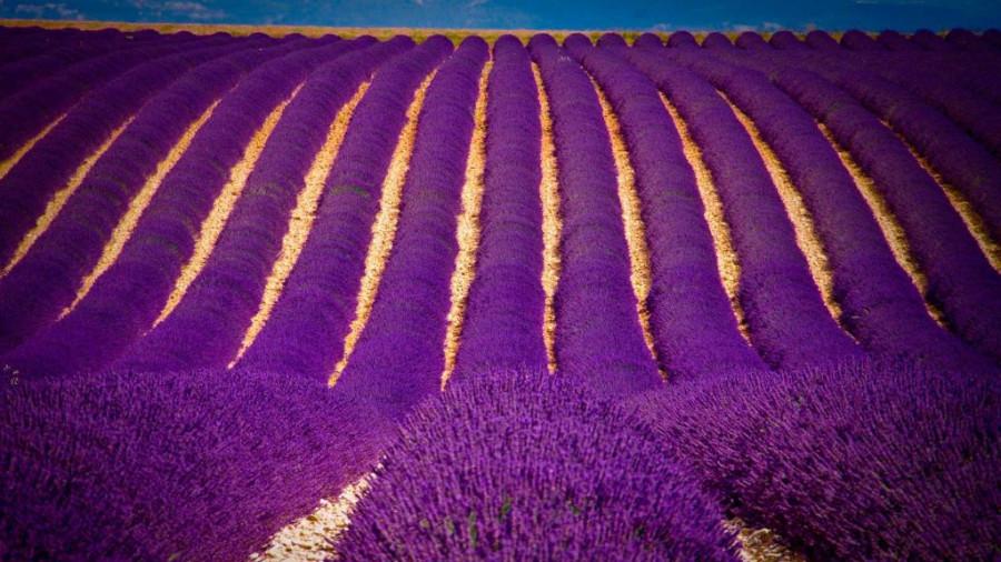 Lavender-fields7