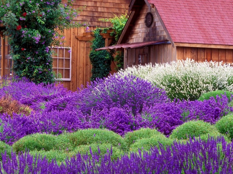 Lavender-fields8