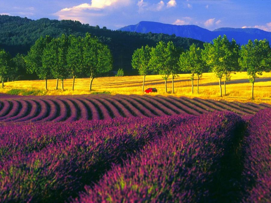 Lavender-fields9