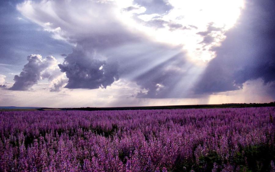 Lavender-fields26