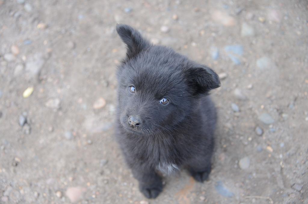 Монастырский щенок