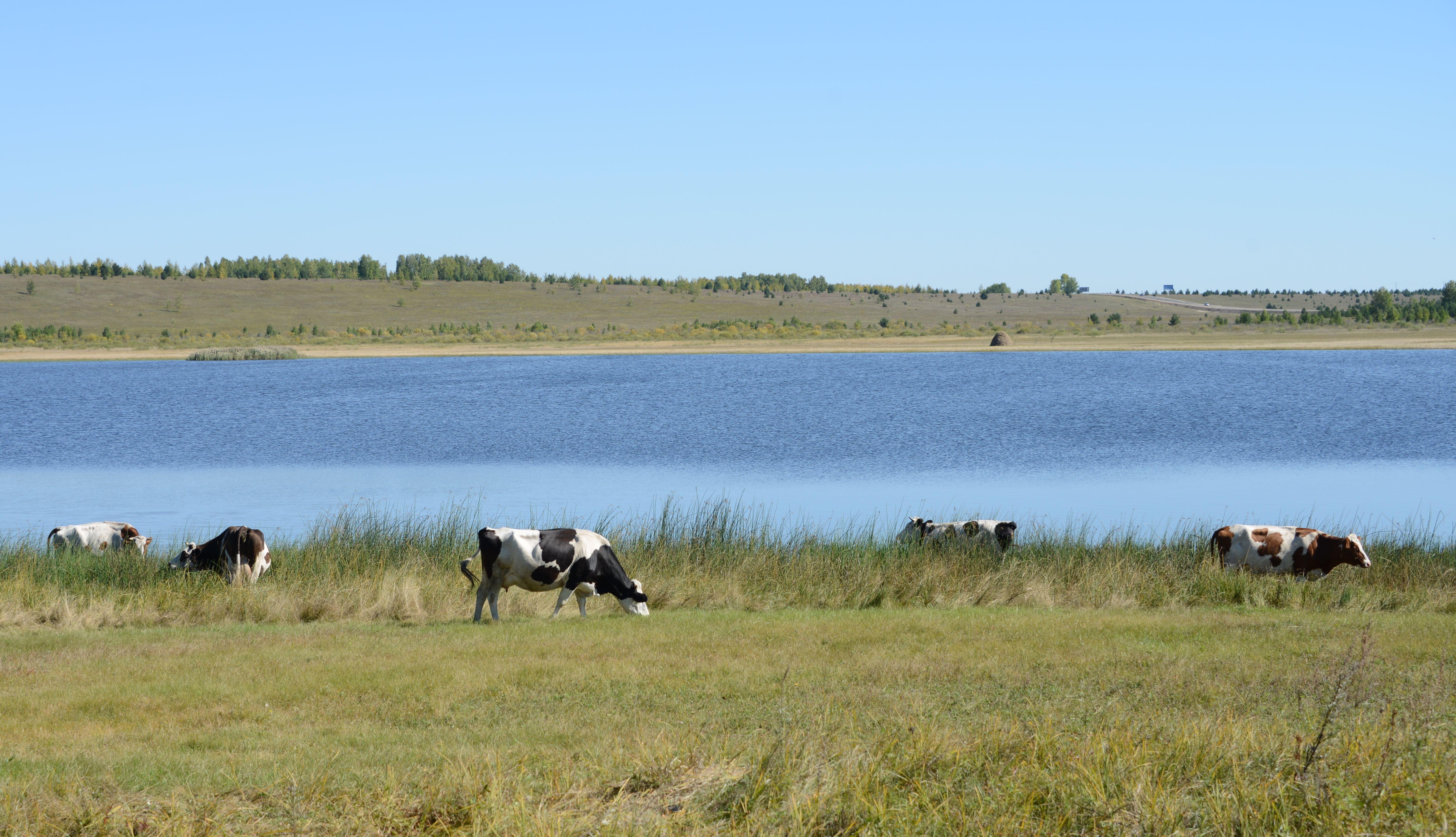 Коровы на озере