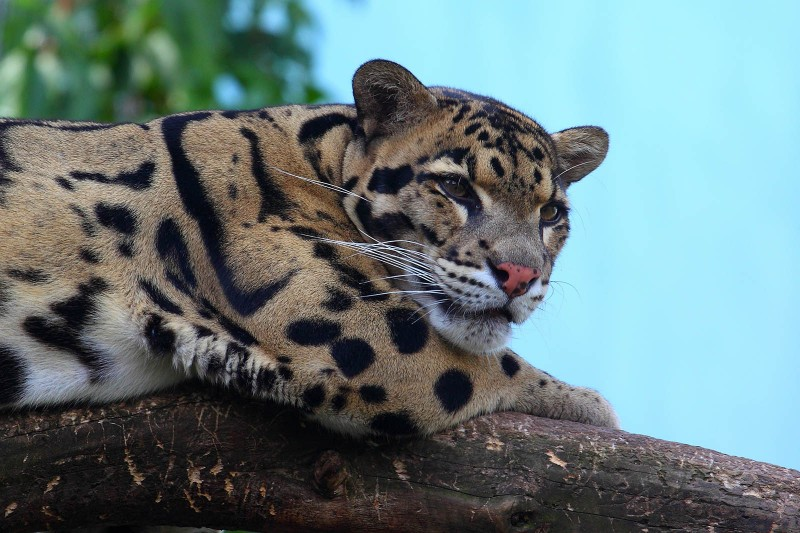 дымчатый леопард (Neofelis nebulosa)