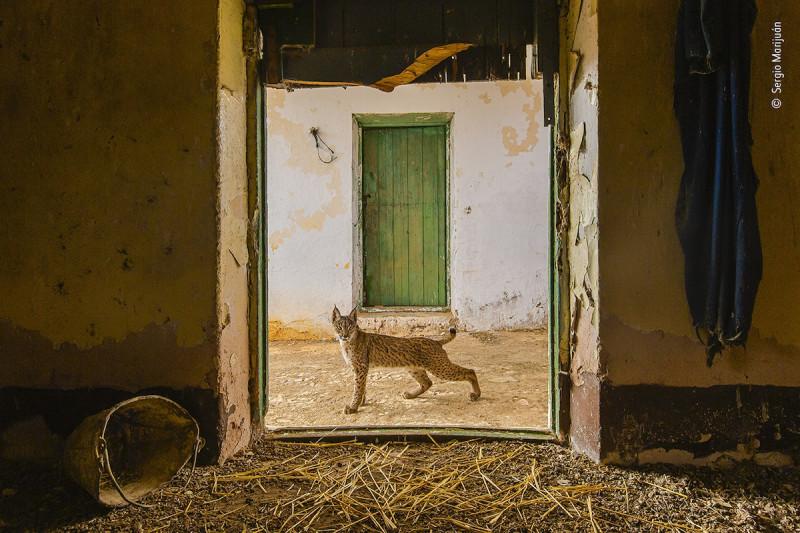 """""""Рысь на пороге"""" Серхио Марияна, Испания."""