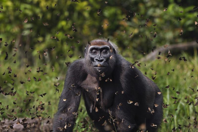 """Фото: Ануп Шах, Великобритания  """"Самка гориллы западной низменности""""Малуи"""","""