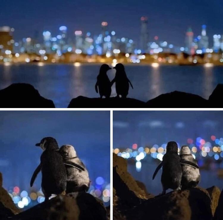 Они встречаются каждую ночь и смотрят на Мельбурнский горизонт. Более мелкий пингвин - самка, чей партнер умер в этом году. Более темный-молодой самец, потерявший партнершу два года назад. Ученые, которые наблюдали за птицами использовали спутниковые системы слежения, в результате чего обнаружили, что партнеры в парах пингвинов остаются преданными по отношению друг к другу в течение долгих лет, несмотря на то, что во время своих зимних путешествий могут находиться за тысячи километров.