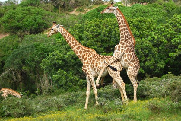 Половой акт у жирафов