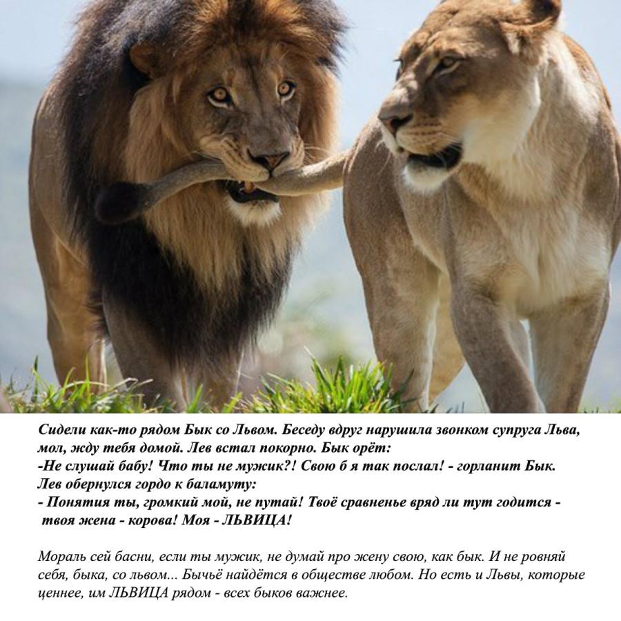 Чечня, картинки львов с надписями смешные