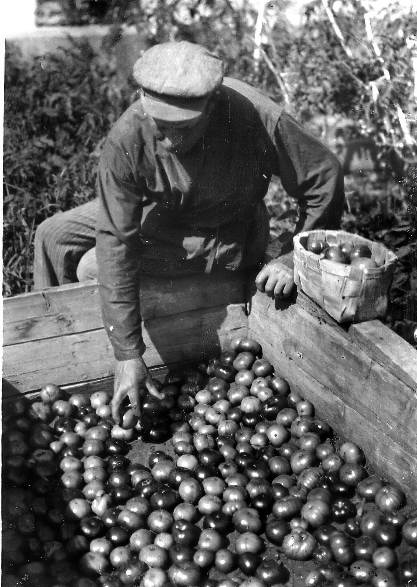 1932 Дозревание помидоров на солнце в совхозе Очаково