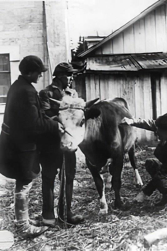 1930-35 Обмер племенного быка в животноводческом совхозе Очаково Кунцевского р-на Московской обл._cmpk