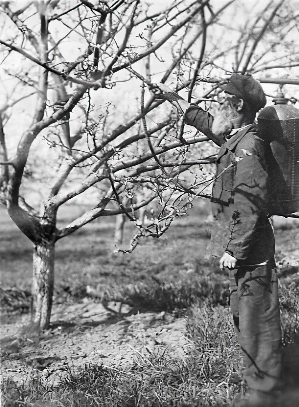 1932 Семидесятилетний колхозник Грибков опрыскивает яблони в саду колхоза села Очаково Кунцевского района. РГАКФД