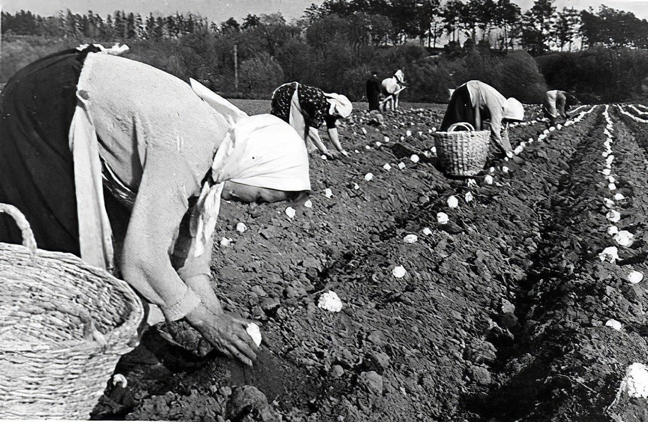 1940, май. Колхозницы колхоза Матвеевское за высадкой семенников капусты в открытый грунт.(Авт.Плотников)
