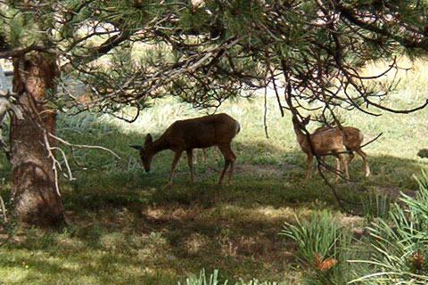 A doe and three fawns in my parents' backyard