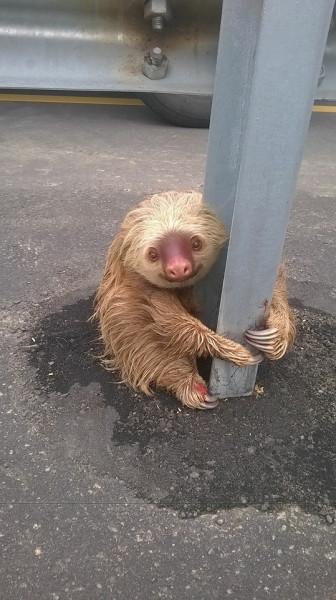 спасение-пытался-sloth-живность-2795593