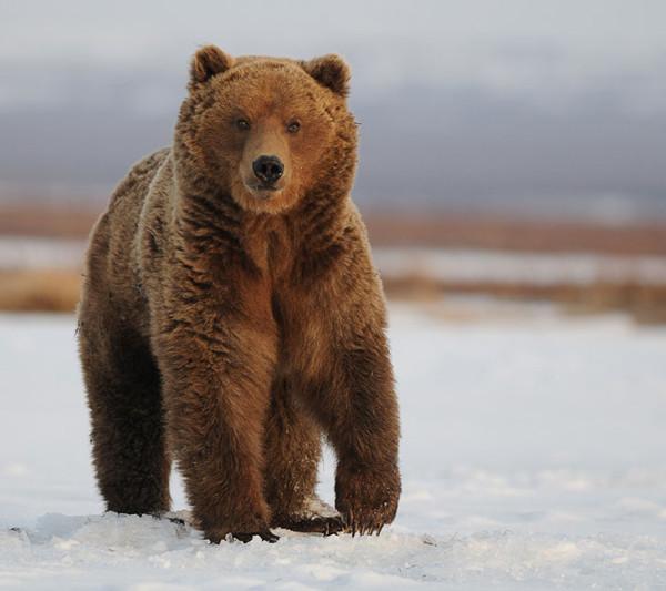 Питание-медведей