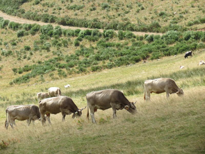 Mолоко астурийских коров считается лучшим в Испании.