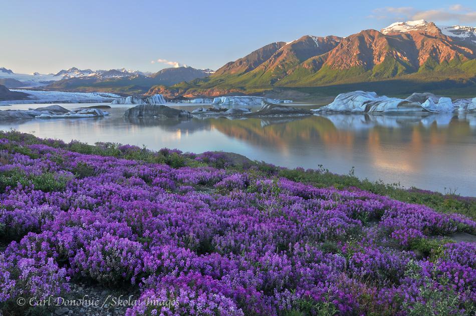Wildflowers by Nizina Glacier, Wrangell - St. Elias National Park, Alaska.